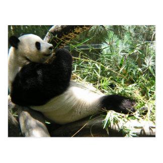 Panda at the San Diego Zoo Postcard