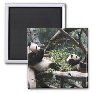 Panda at the San Diego Zoo Square Magnet
