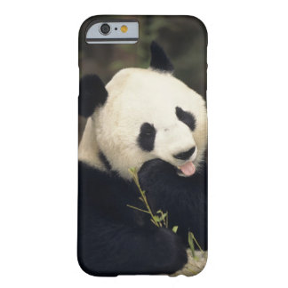 Panda bear, (Close-up) Barely There iPhone 6 Case
