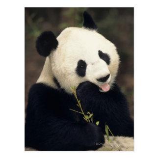 Panda bear Close-up Post Cards