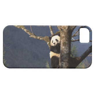 Panda bear in tree , China Barely There iPhone 5 Case