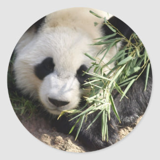 Panda Bear @ Zoo Atlanta Classic Round Sticker