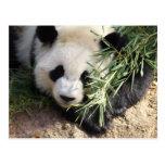 Panda Bear @ Zoo Atlanta Post Card