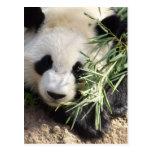 Panda Bear @ Zoo Atlanta Post Cards