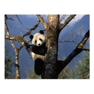Panda Climber Postcard