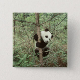 Panda cub climbing tree, Wolong, Sichuan, 15 Cm Square Badge