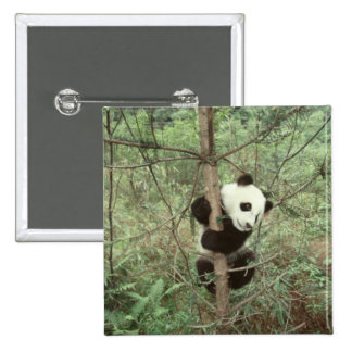 Panda cub climbing tree, Wolong, Sichuan, 15 Cm Square Badge