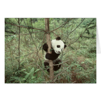 Panda cub climbing tree, Wolong, Sichuan, Card