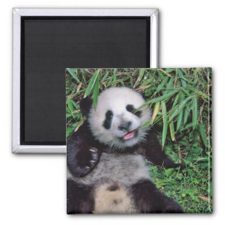 Panda cub in the bamboo grove, Wolong, Square Magnet