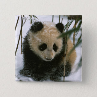 Panda cub on snow, Wolong, Sichuan, China 15 Cm Square Badge