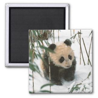 Panda cub on snow, Wolong, Sichuan, China 2 Magnet