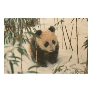 Panda cub on snow, Wolong, Sichuan, China 2 Wood Prints