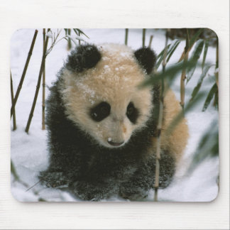 Panda cub on snow, Wolong, Sichuan, China Mouse Mat