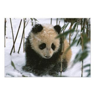 Panda cub on snow, Wolong, Sichuan, China Photo Print