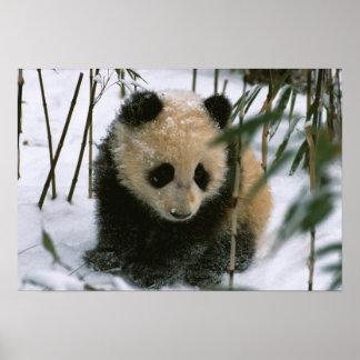 Panda cub on snow, Wolong, Sichuan, China Poster