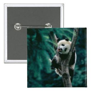 Panda cub on tree, Wolong, Sichuan, China 15 Cm Square Badge
