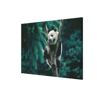 Panda cub on tree, Wolong, Sichuan, China Canvas Print