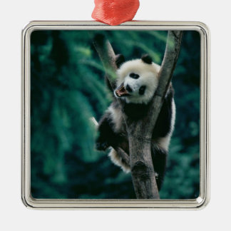 Panda cub on tree, Wolong, Sichuan, China Christmas Ornament