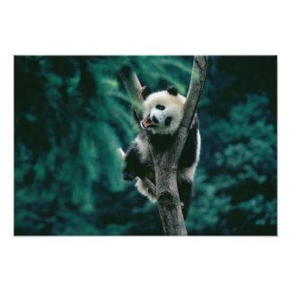 Panda cub on tree, Wolong, Sichuan, China Photo Print