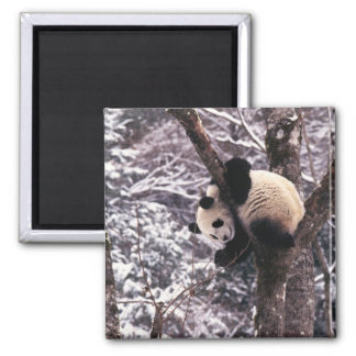 Panda cub playing on tree covered with snow, square magnet