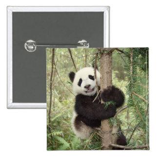 Panda cub playing on tree, Wolong, Sichuan, 15 Cm Square Badge