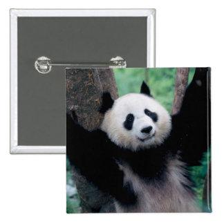 Panda cub, Wolong, Sichuan, China 15 Cm Square Badge