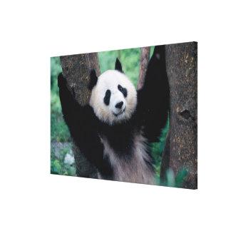 Panda cub, Wolong, Sichuan, China Canvas Print