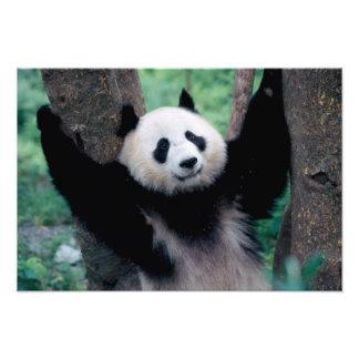 Panda cub, Wolong, Sichuan, China Photo Print