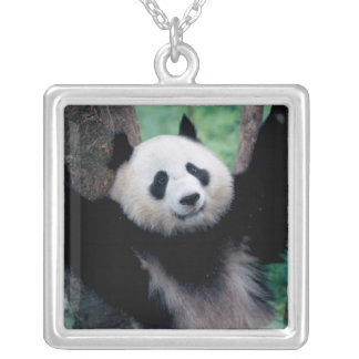 Panda cub, Wolong, Sichuan, China Silver Plated Necklace