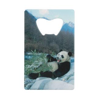 Panda eating bamboo by river bank, Wolong, 2