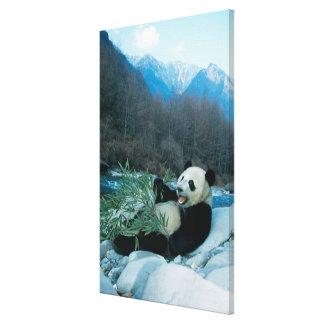 Panda eating bamboo by river bank, Wolong, 2 Canvas Print