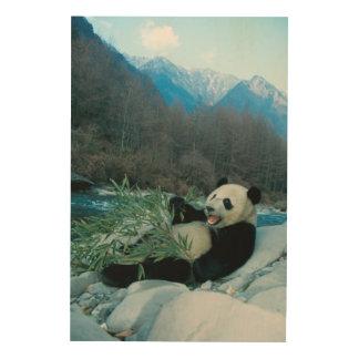 Panda eating bamboo by river bank, Wolong, 2 Wood Print