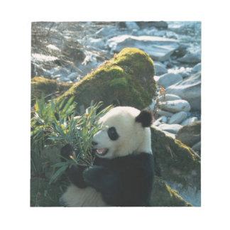 Panda eating bamboo by river bank, Wolong, 3 Notepad