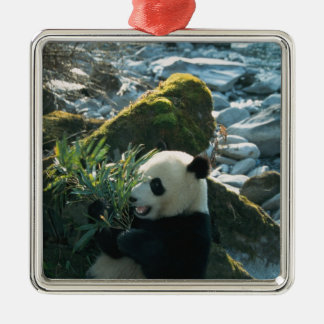 Panda eating bamboo by river bank, Wolong, 3 Silver-Colored Square Decoration
