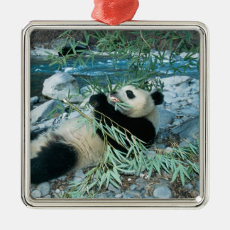 Panda eating bamboo by river bank, Wolong, Silver-Colored Square Decoration