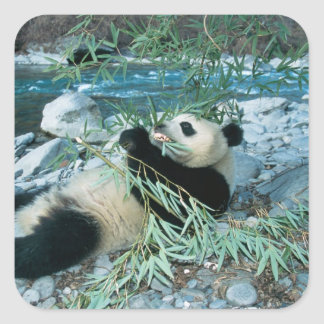 Panda eating bamboo by river bank, Wolong, Square Sticker