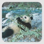 Panda eating bamboo by river bank, Wolong, Square Stickers