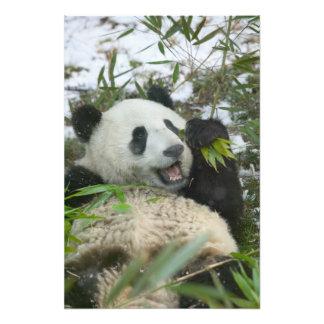 Panda eating bamboo on snow, Wolong, Sichuan, Photo Print