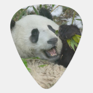 Panda eating bamboo on snow, Wolong, Sichuan, Plectrum