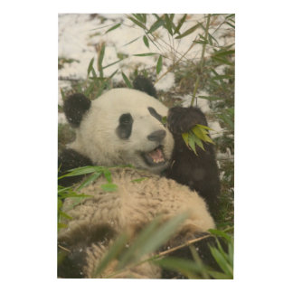 Panda eating bamboo on snow, Wolong, Sichuan, Wood Canvas