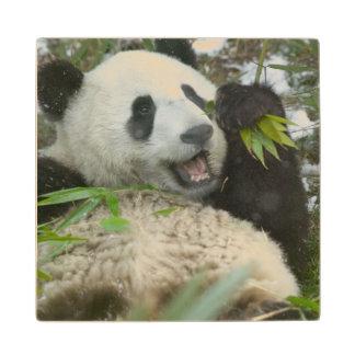 Panda eating bamboo on snow, Wolong, Sichuan, Wood Coaster