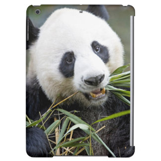 Panda eating bamboo shoots Alluropoda 2
