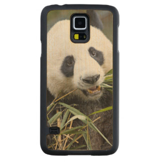 Panda eating bamboo shoots Alluropoda 2 Carved Maple Galaxy S5 Case