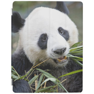 Panda eating bamboo shoots Alluropoda 2 iPad Cover