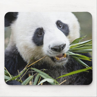 Panda eating bamboo shoots Alluropoda 2 Mouse Mat