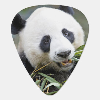 Panda eating bamboo shoots Alluropoda 2 Plectrum