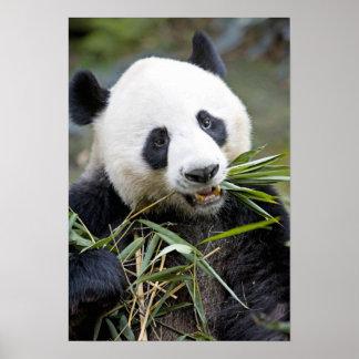 Panda eating bamboo shoots Alluropoda 2 Poster