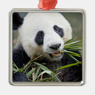 Panda eating bamboo shoots Alluropoda 2 Silver-Colored Square Decoration