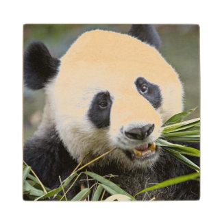 Panda eating bamboo shoots Alluropoda 2 Wood Coaster