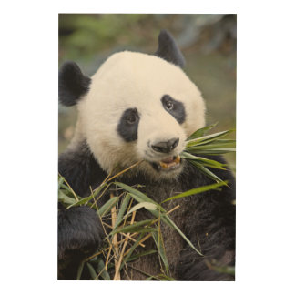 Panda eating bamboo shoots Alluropoda 2 Wood Prints